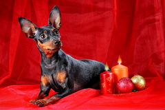 Miniature Pinscher. On a red background. Christmas theme stock photography