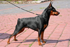 Miniature Pinscher. The Miniature Pinscher (Zwergpinscher, Min Pin) is a small breed of dog of the Pinscher type, developed in Germany stock images