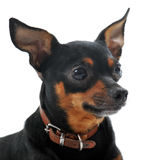 Miniature pinscher. Portrait of a sick miniature pinscher with Leishmaniasis with hair removal outline the eyes on a white background royalty free stock image