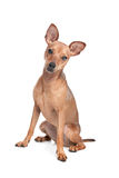 Miniature Pinscher. In front of a white background stock photos