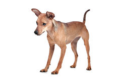 Miniature Pinscher. In front of a white background stock image