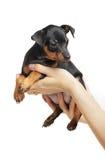 Miniature Pinscher Stock Image