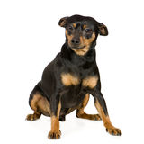 Miniature Pinscher Stock Images