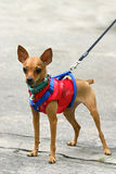 Miniature pinscher. In Chinese suit royalty free stock photos
