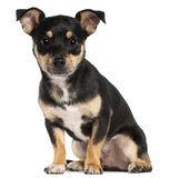 Miniature Pinscher, 9 months old, sitting Royalty Free Stock Image