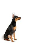 Miniature Pinscher. This a Miniature Pinscher. Its colour is black and red. This is quite a small dog stock image