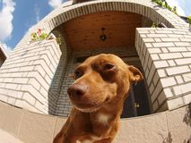 Miniature Pinscher. On the background of a big house. Photographed with a fish eye stock photography