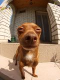 Miniature Pinscher. On the background of a big house. Photographed with a fish eye stock images