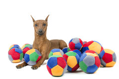 Miniature pinscher with a bal Royalty Free Stock Photo