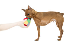 Miniature pinscher with a bal Royalty Free Stock Photography