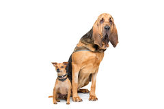 Miniature Pinscher and a bloodhound Royalty Free Stock Images