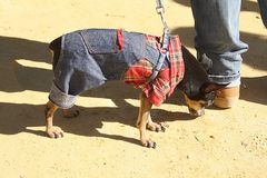 Miniature Pinscher. Breed the miniature Pinscher was bred in Germany Stock Photos