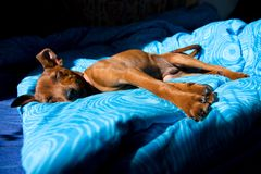 Miniature pinscher. Brown miniature pinscher lying on a blue blanket, dog in bed royalty free stock photo