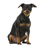 Miniature pinscher and chihuahua Royalty Free Stock Photography