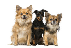 Miniature pinscher and chihuahua Stock Photos