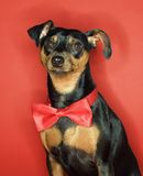 Miniature Pinscher dog. Miniature Pinscher dog wearing red bowtie sitting against red background stock image