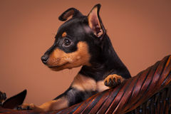 Miniature Pinscher. Dog breed shot in a studio with brown background Stock Image