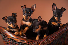 Miniature Pinscher. Dog breed shot in a studio with brown background stock images