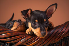 Miniature Pinscher Royalty Free Stock Photos