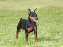 Miniature Pinscher Dog royalty free stock images