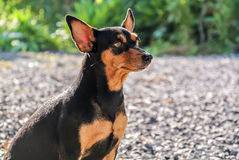 Miniature pinscher dog. The old miniature pinscher dog sit and look straght to the future stock photo