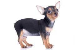 Miniature pinscher dog smiling. Black and brown miniature pinscher dog smiling stock photography