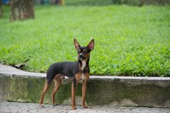 The Miniature Pinscher dog standing in the park. Royalty Free Stock Photo