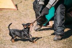 Miniature Pinscher Dog Training. Biting Zwergpinscher, Min Pin Royalty Free Stock Images