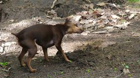 Miniature Pinscher dog who digs in the dirt stock video