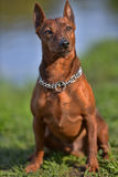 The Miniature Pinscher Royalty Free Stock Photo