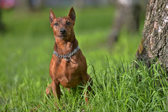 The Miniature Pinscher Royalty Free Stock Photography