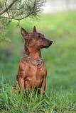 The Miniature Pinscher. Dwarf pinscher in summer on green grass Royalty Free Stock Photo