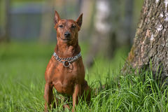 The Miniature Pinscher Royalty Free Stock Photos