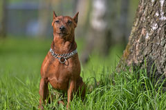 The Miniature Pinscher Royalty Free Stock Image