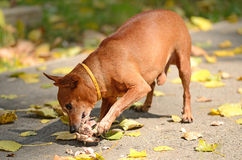 Miniature Pinscher eat in the park Stock Photo