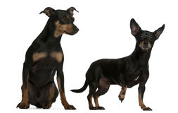 Miniature Pinscher and German Pinscher Royalty Free Stock Photos