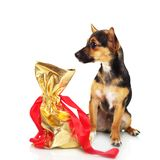 Miniature Pinscher with gift box Stock Photo