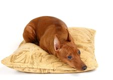 Miniature Pinscher lying on the pillow Stock Photo