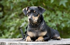 Miniature Pinscher Manchester Terrier mixed breed dog adoption photo. Small breed black and tan Pinscher or Manchester Terrier mixed breed dog outdoors on picnic Stock Photo