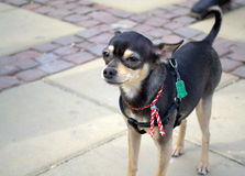 Miniature pinscher Royalty Free Stock Image