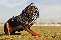 Miniature pinscher and muzzle Royalty Free Stock Photo