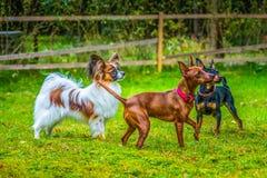 Miniature pinscher and papillon purebreed dogs. Outdoor portrait of a miniature pinscher and papillon purebreed dogs on the grass royalty free stock photos