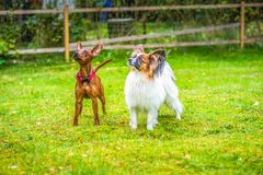 Miniature pinscher and papillon purebreed dogs. Outdoor portrait of a miniature pinscher and papillon purebreed dogs on the grass royalty free stock photography