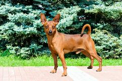 Miniature Pinscher looks in camera. The Miniature Pinscher is in the park royalty free stock images
