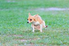 Miniature Pinscher pee-pee. On the grass stock images