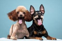 Miniature Pinscher, Poodle portrait in blue background Stock Photo