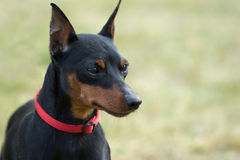 Miniature pinscher portrait. Royalty Free Stock Photography