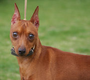 Miniature Pinscher Posing. Miniature Pinscher Outdoor Portrait - min-pin standing at the park posing for an outdoor portrait royalty free stock image