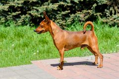 Miniature Pinscher in profile. The Miniature Pinscher is in the park stock image