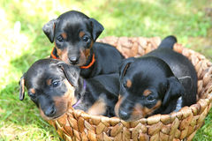 The Miniature Pinscher puppies Stock Photography